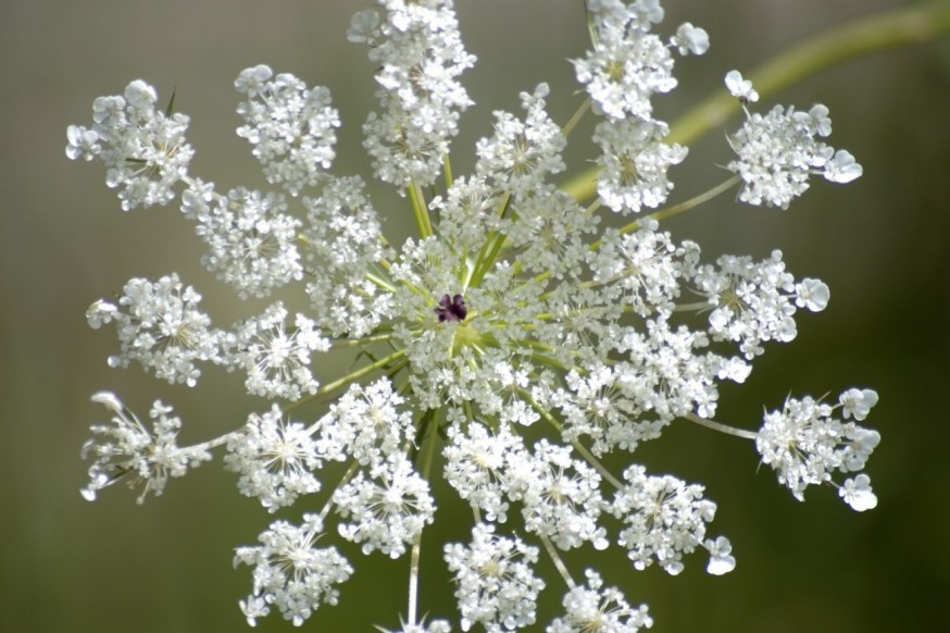 queen anne lace
