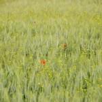trigo y amapolas