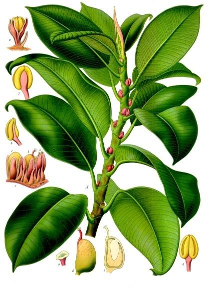 Ficus_elastica_-_Köhler–s_Medizinal-Pflanzen-206